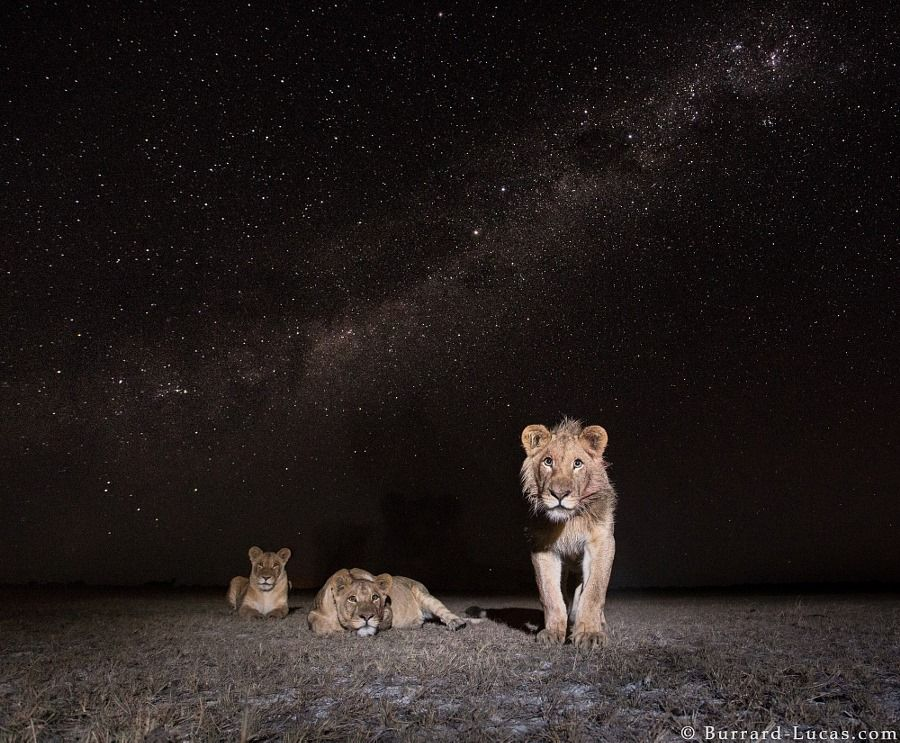 Lions under the African night sky by Will Burrard Lucas,Lions under the African night sky ,by Will Burrard Lucas,Lions ,under the African night sky, Will Burrard, Lucas,the African night sky,African, night sky,African night,lion under the sky,lion,lions,nature photography,photography